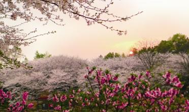 湖南森林植物园落樱如雪 赏樱正当时