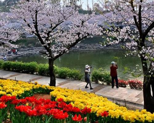 长沙植物园:樱花节推出夜间浪漫赏樱